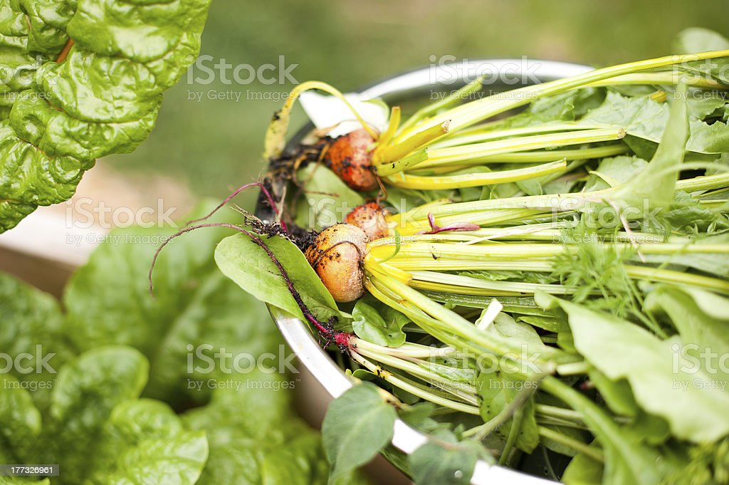 Freshly picked beets in metal bowl royalty-free stock photo