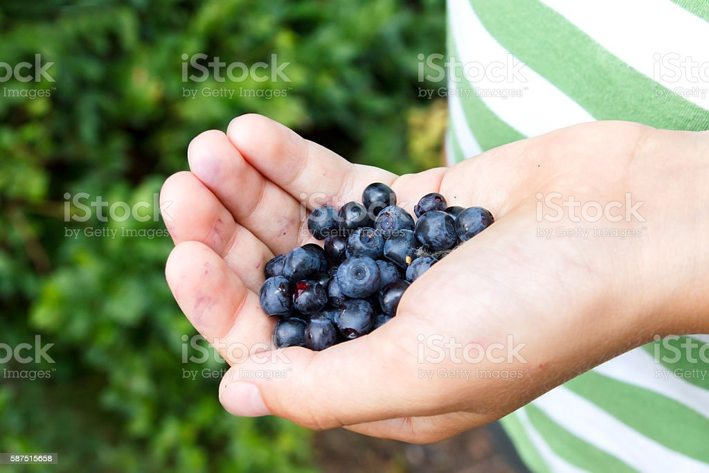 Freshly picked blueberries in child's hand. Leafy background. stock photo