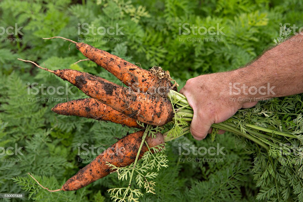 Freshly Picked Carrots stock photo