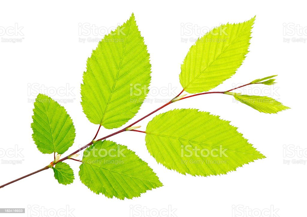 Freshly picked green leaves on a twig stock photo