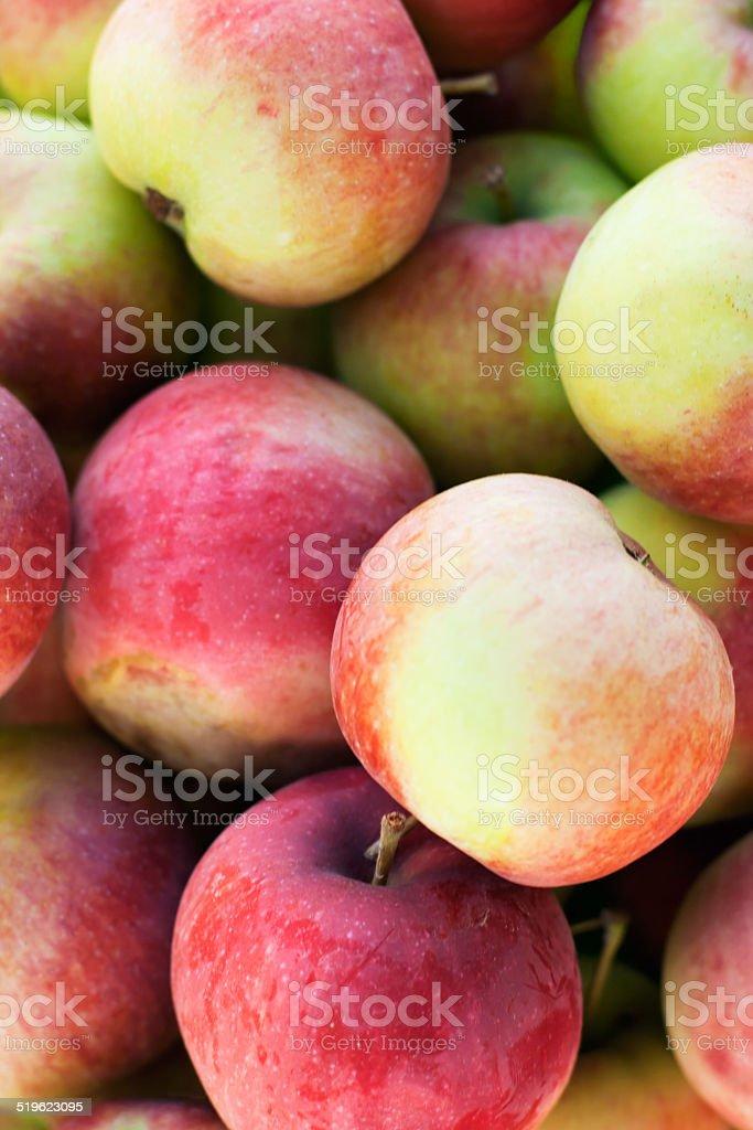 Freshly picked Macintosh Apples stock photo
