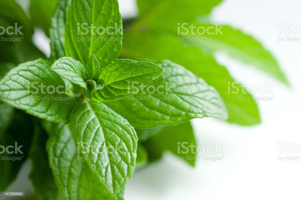 Freshly Picked Oregano On White royalty-free stock photo