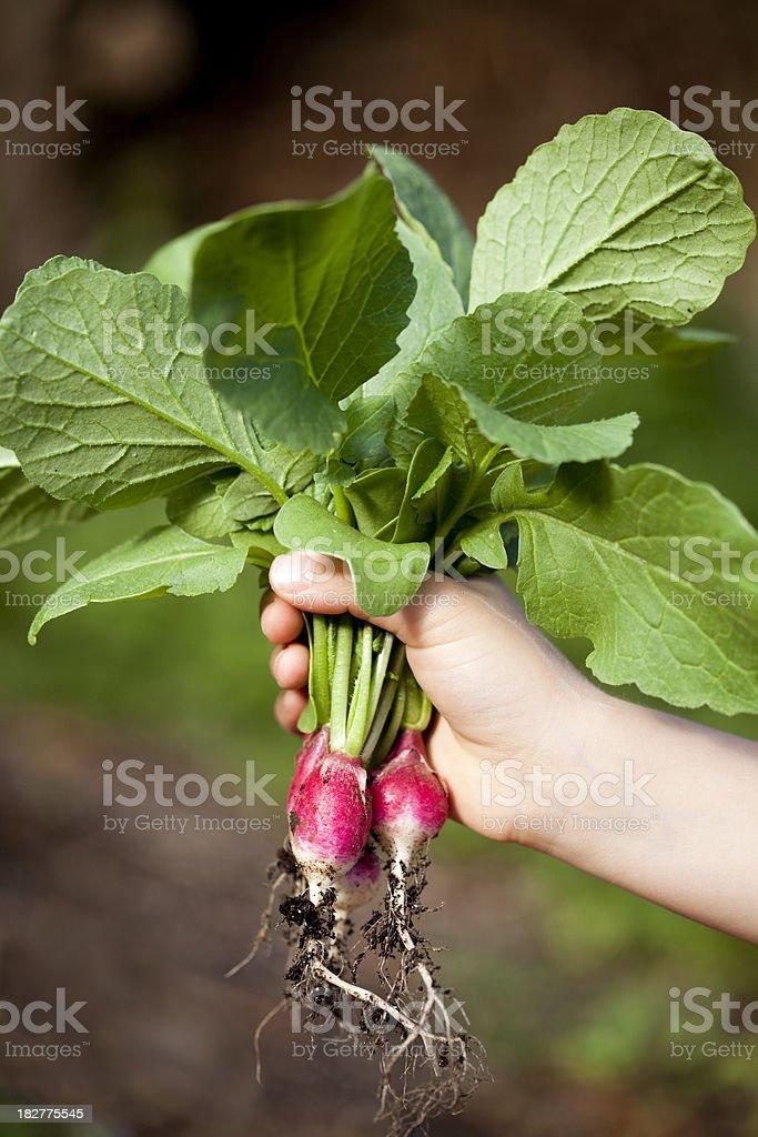 Freshly picked radishes royalty-free stock photo