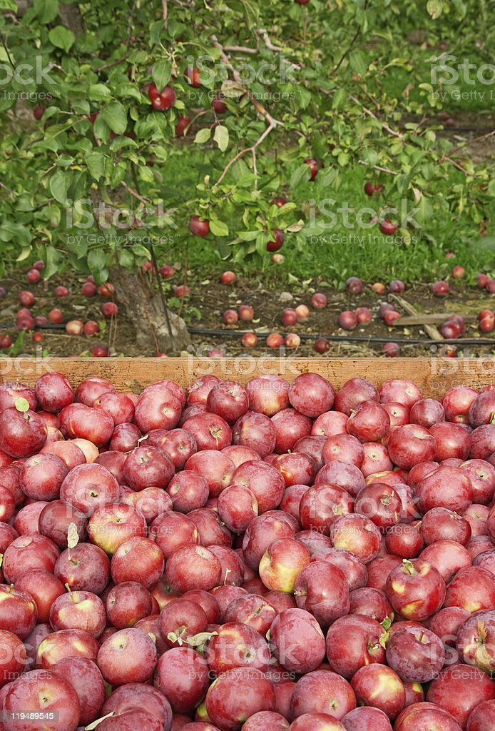 Freshly picked red apples in a wooden box royalty-free stock photo