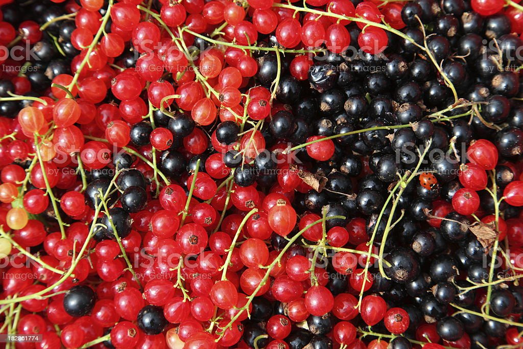 Freshly picked redcurrants and blackcurrants royalty-free stock photo