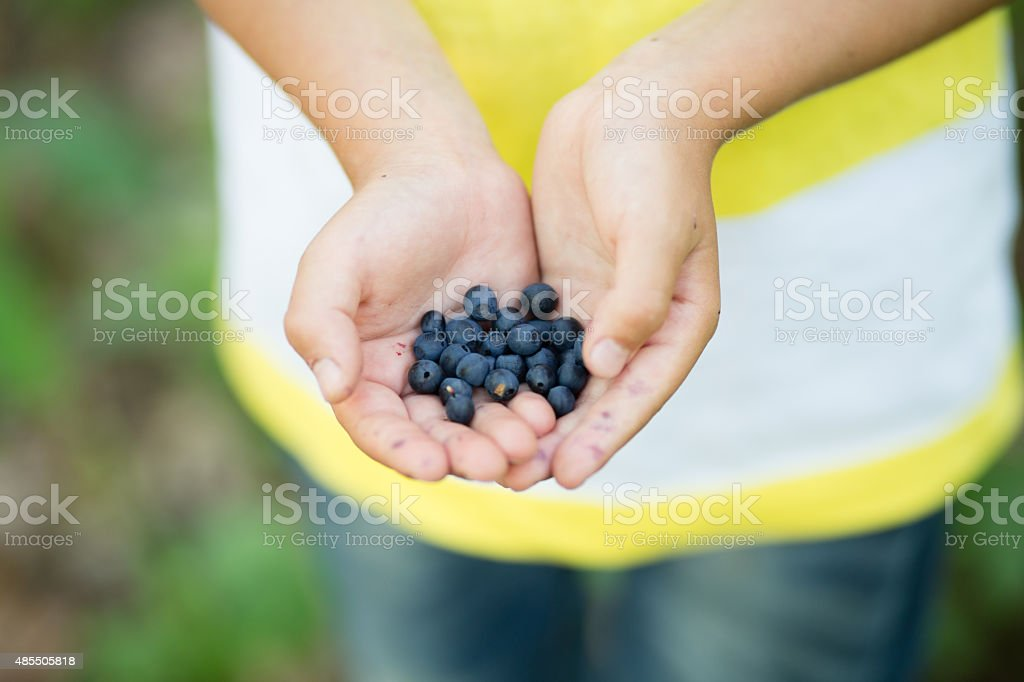 Freshly picked wild blueberries in kid's hands stock photo