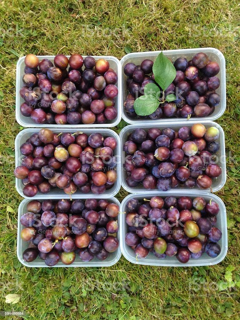 Freshly Picked Wild Damson Fruit stock photo