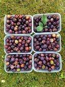 Freshly Picked Wild Damson Fruit