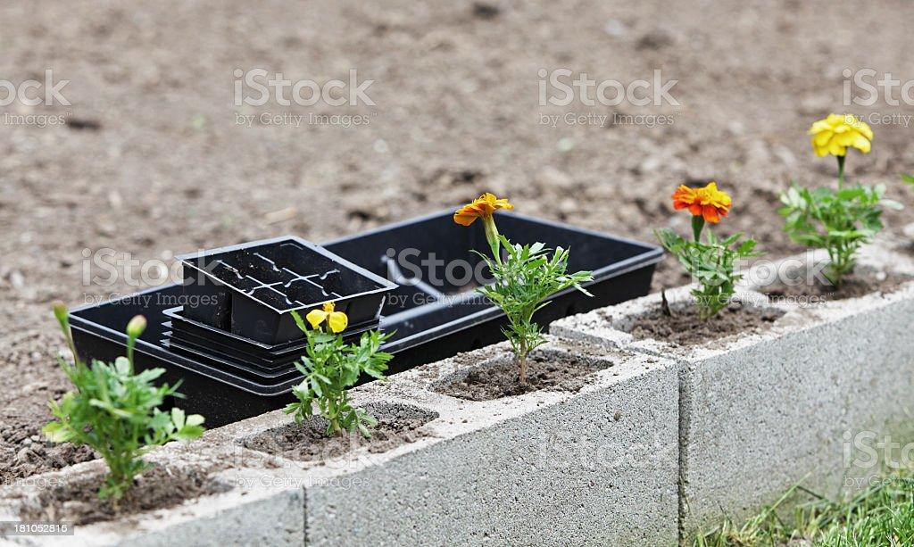 Freshly Planted Marigolds (Tagetes) royalty-free stock photo