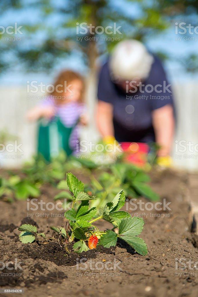 Freshly Planted Strawberry Plant With Girl & Grandma stock photo