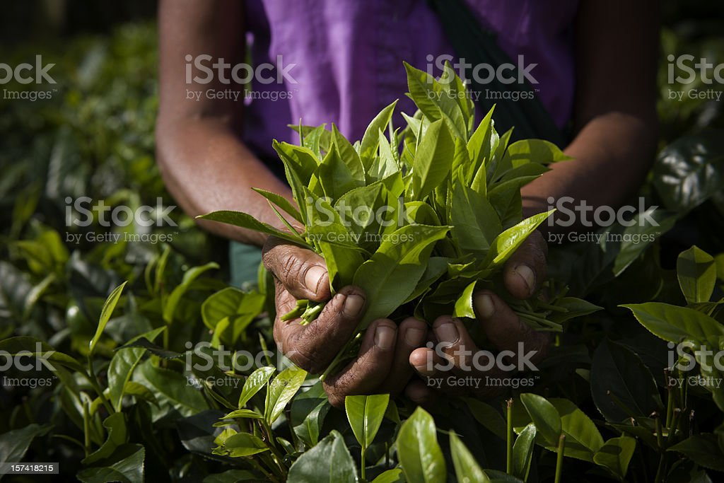 freshly plucked tea leaves horizontal royalty-free stock photo