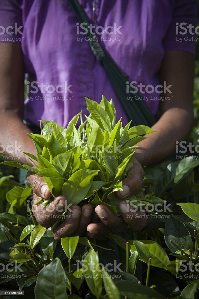 Freshly plucked tea leaves stock photo