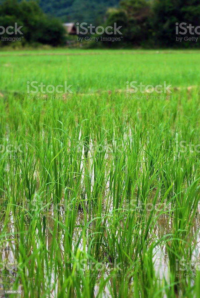 Freshly ready for harvest rice stock photo