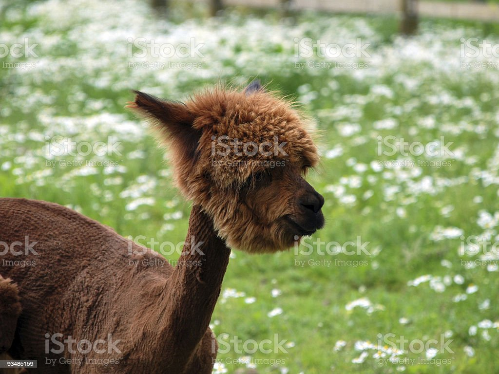 Freshly Shaved Alpaca stock photo