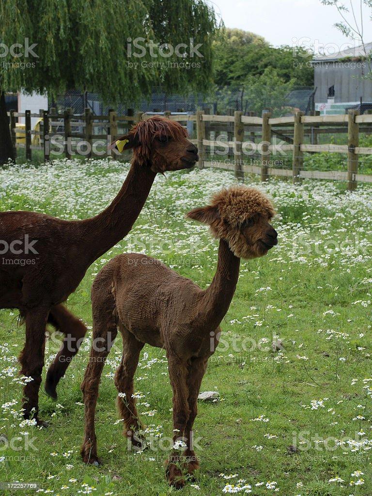 Freshly Shaved Alpacas royalty-free stock photo