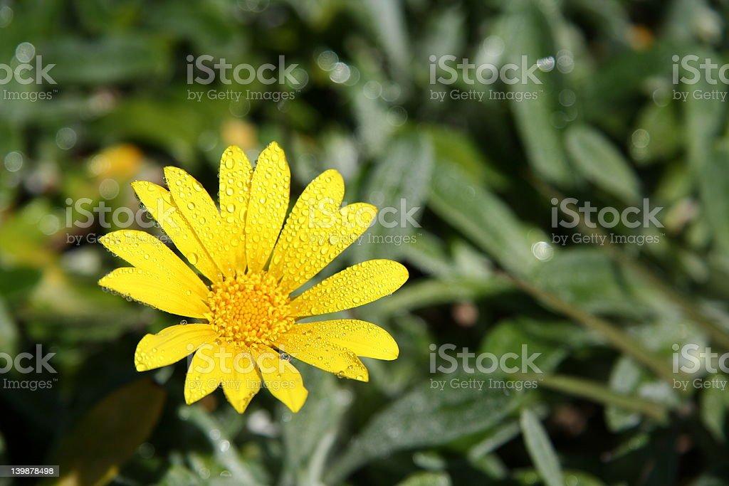 Freshly sprinkled daisy royalty-free stock photo