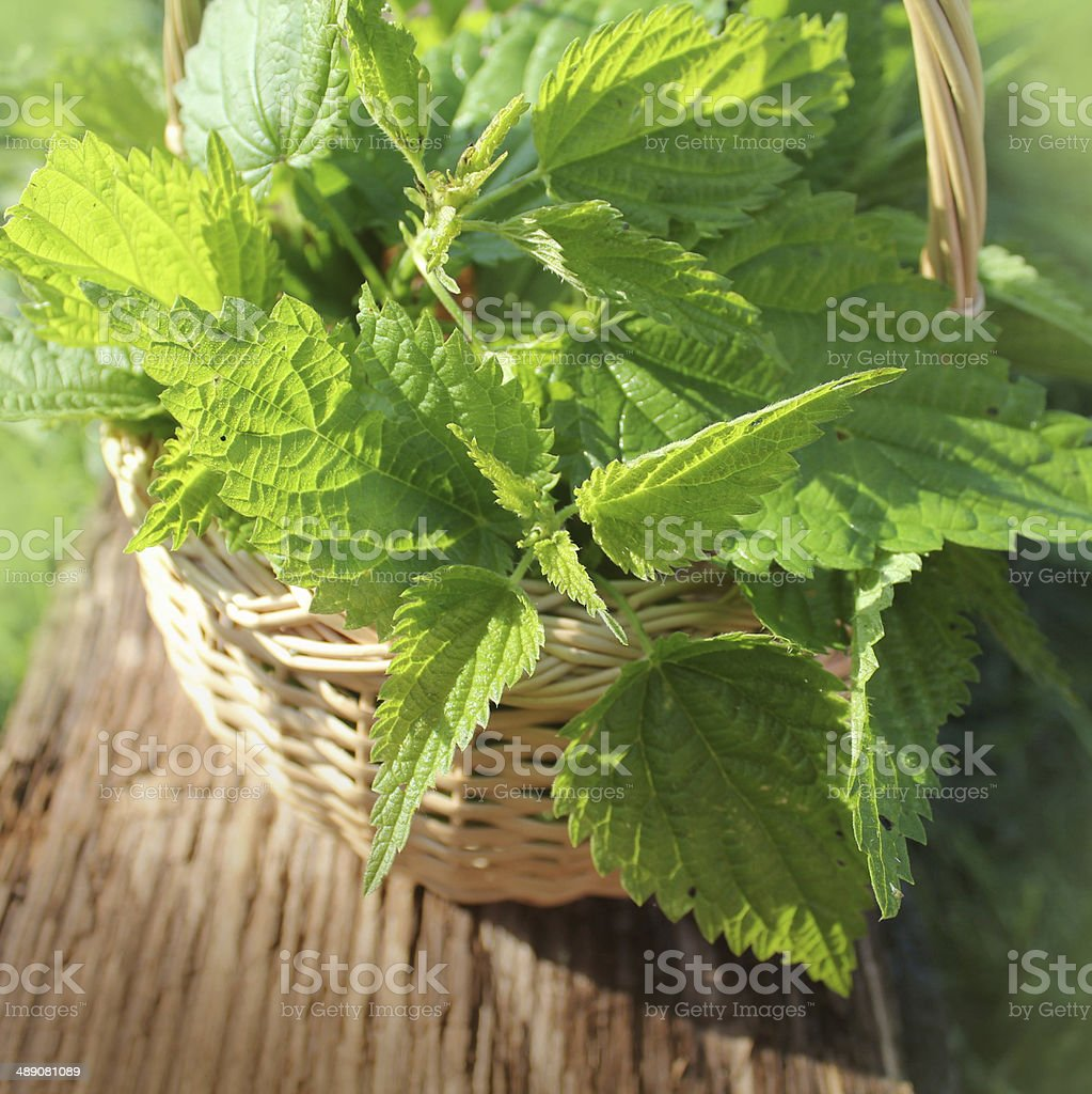 Freshly stinging nettles in basket stock photo