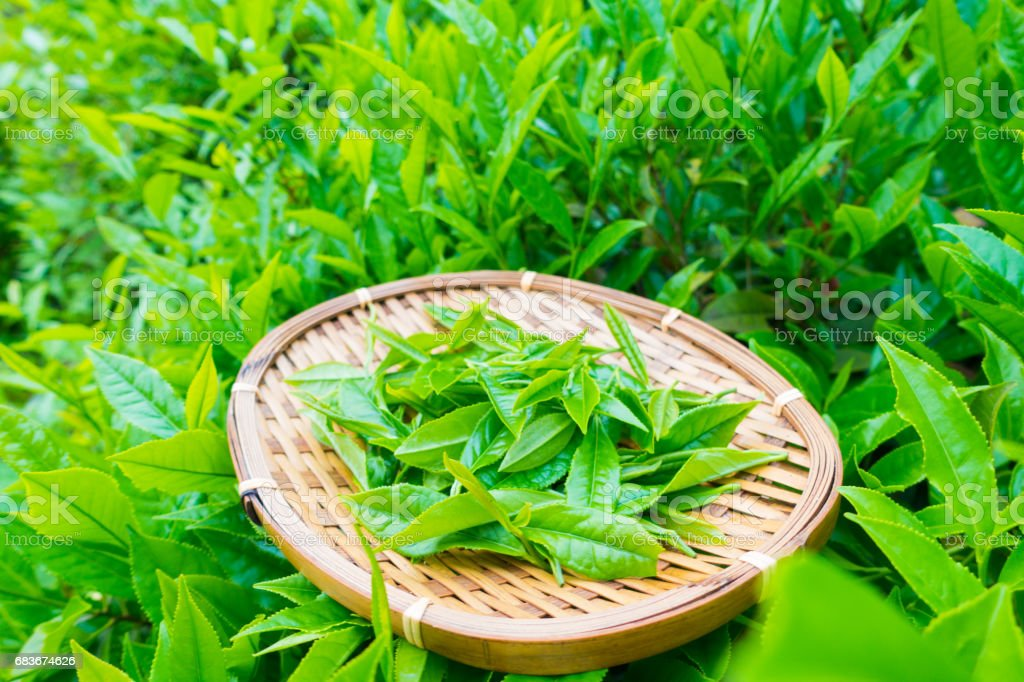 Freshly tea in basket stock photo