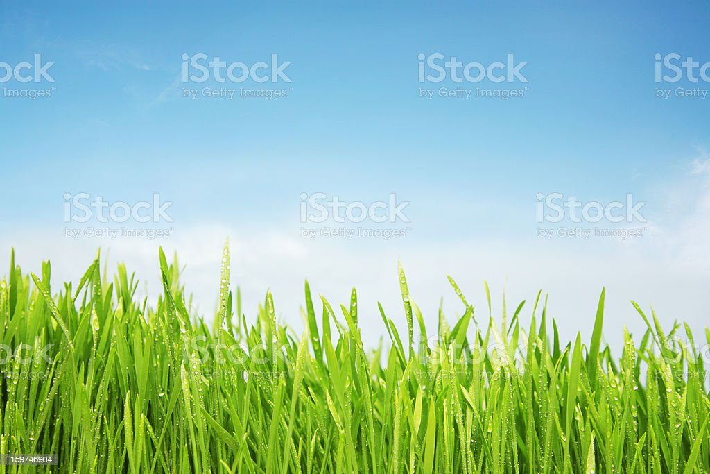 Freshly watered grassy field royalty-free stock photo