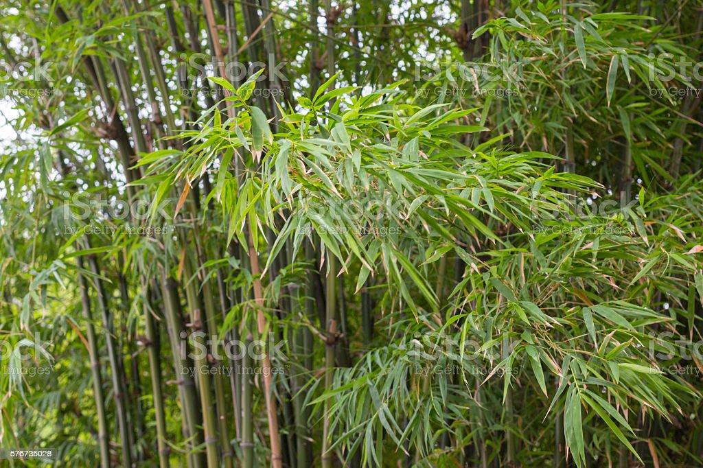 freshness growth green bamboo leaves branch and lush background Стоковые фото Стоковая фотография