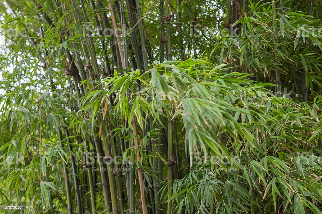 freshness growth green bamboo leaves branch and lush background Стоковые фото Стоковая фотография