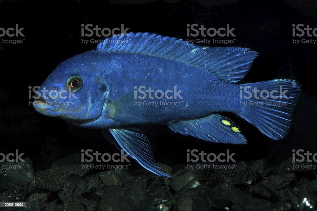 Freshwater Aquarium Fish stock photo