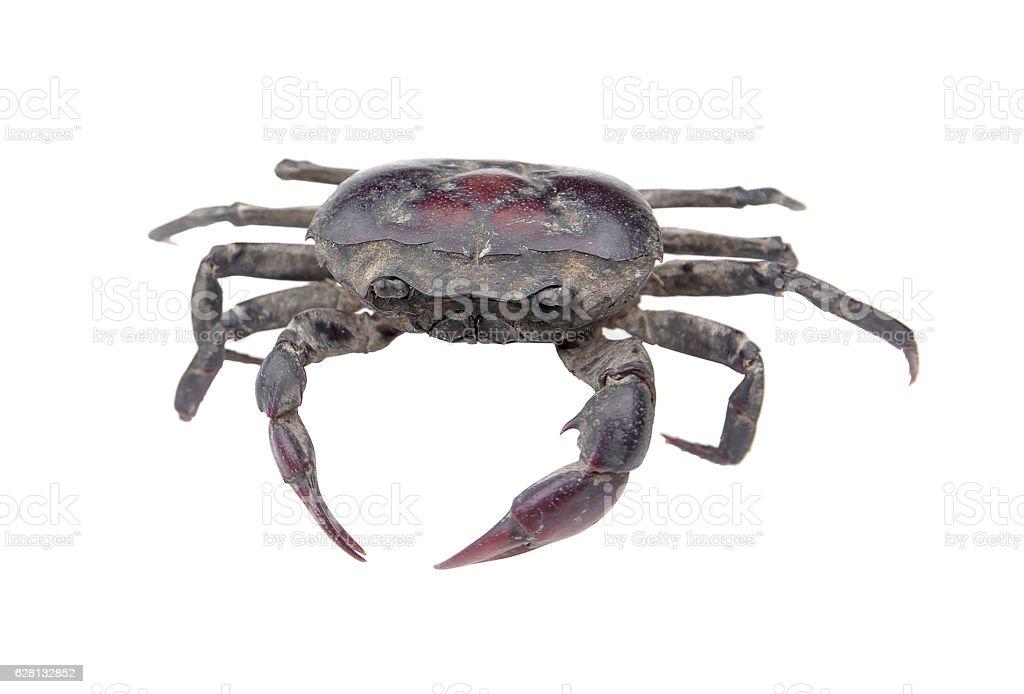 Freshwater crab isolated on white background.Thailand freshwater crab stock photo