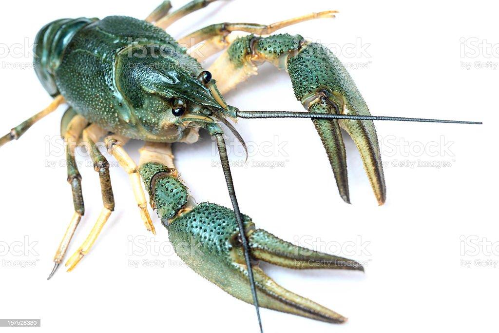 Freshwater crayfish (Austropotamobius Pallipes) stock photo