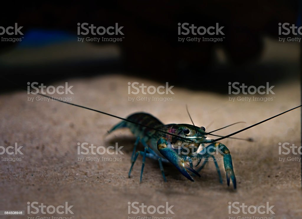 freshwater crayfish,redclaw,lobster stock photo