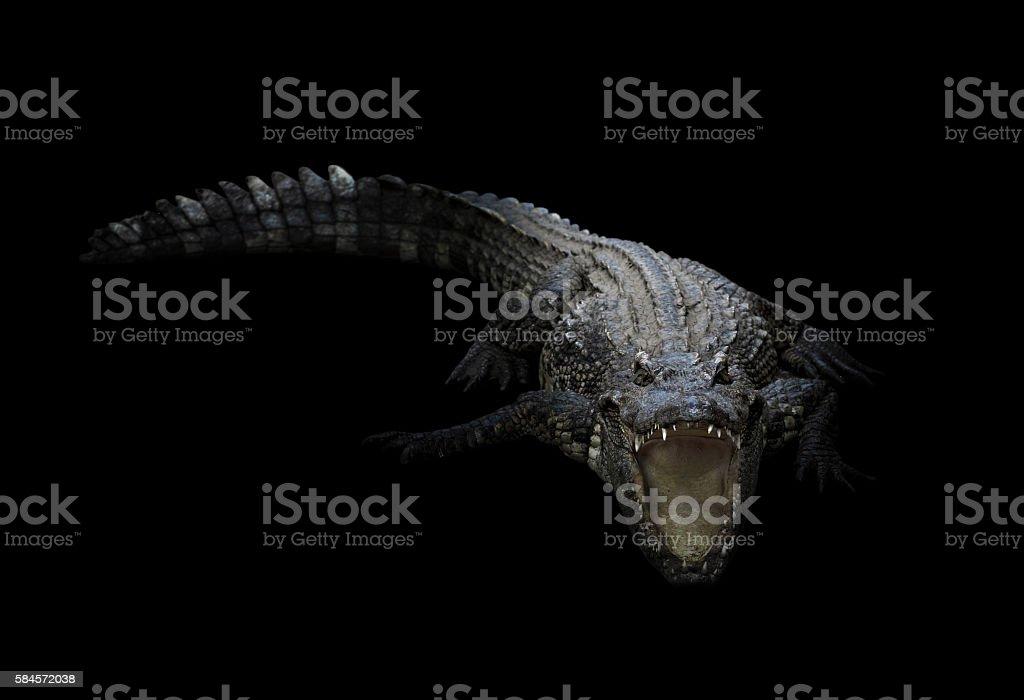 freshwater crocodile in the dark stock photo