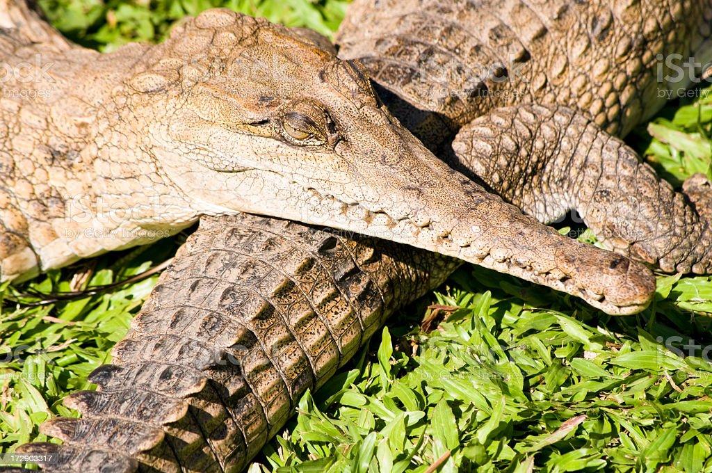 Freshwater Crocodile royalty-free stock photo