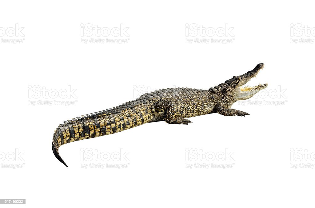 Freshwater crocodile. stock photo