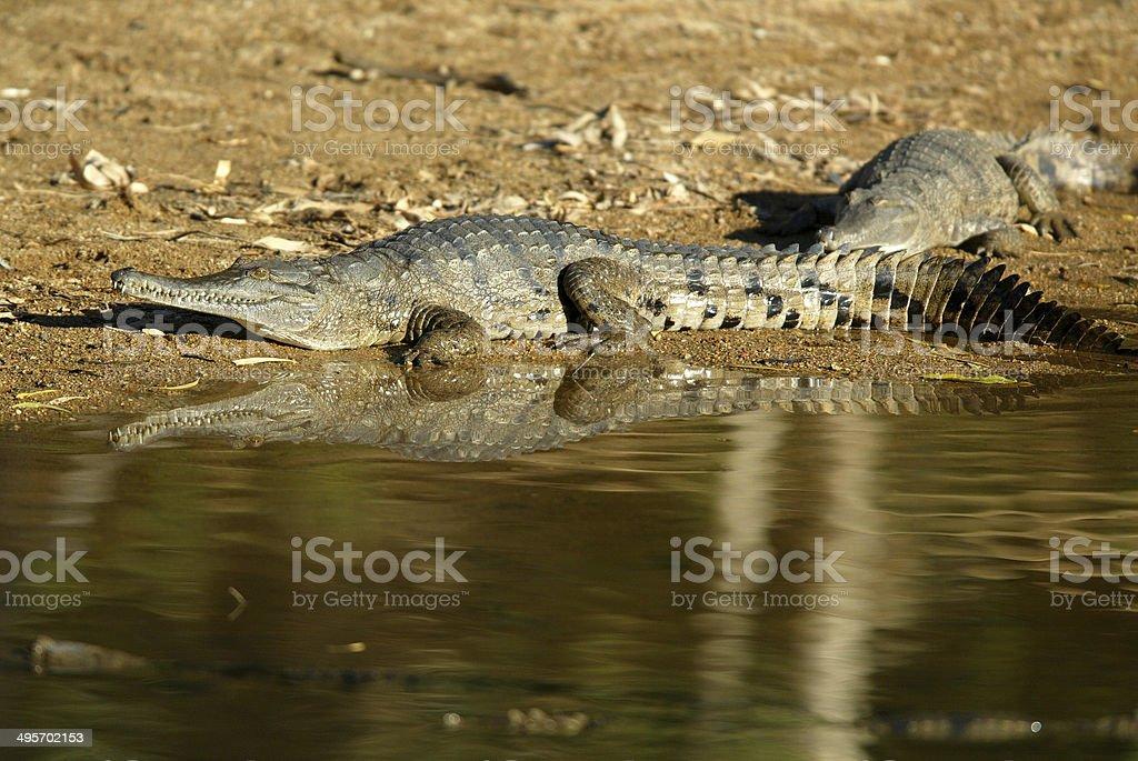 Freshwater Crocodiles at Windjana Gorge in Western Australia royalty-free stock photo