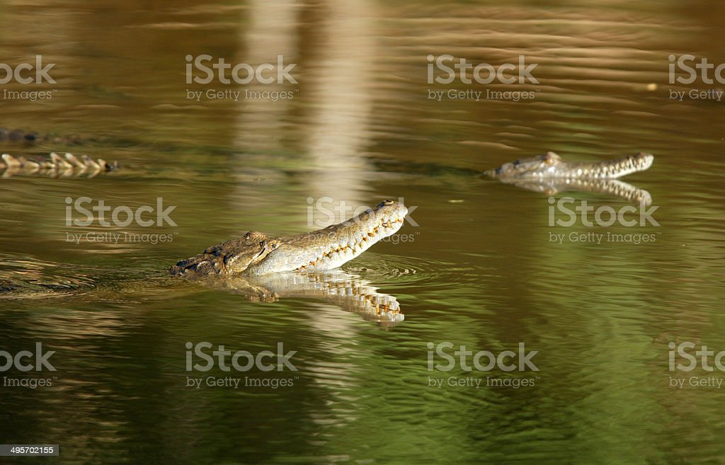 Freshwater Crocodiles at Windjana Gorge in Western Australia stock photo