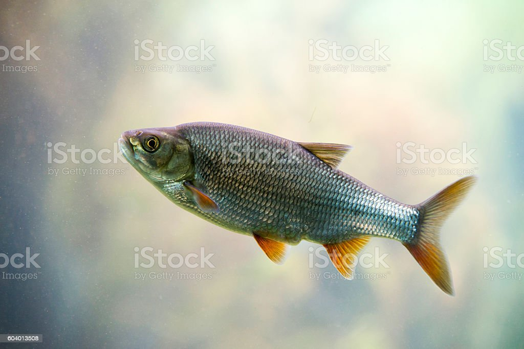 Freshwater fish Common Roach stock photo