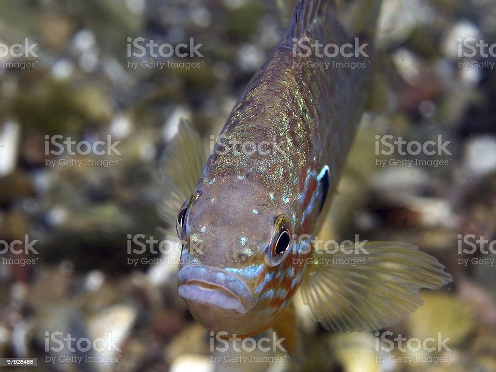 freshwater fish (sun berch) royalty-free stock photo