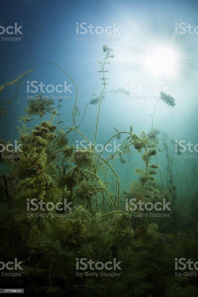 Freshwater Plants Underwater royalty-free stock photo