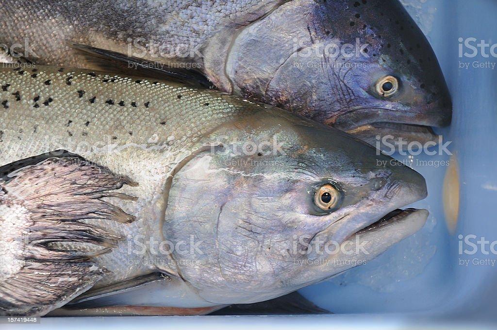 Freshwater Salmon royalty-free stock photo