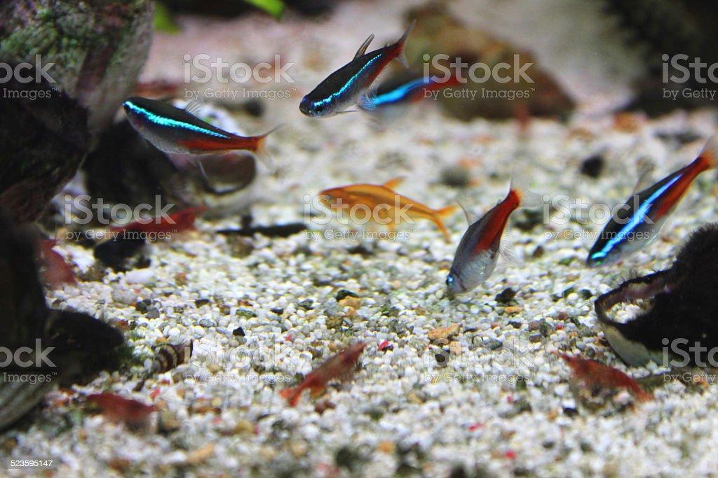 Freshwater tropical aquarium fish-tank, red cherry-shrimp, Neon tetra fish, ember-tetras stock photo