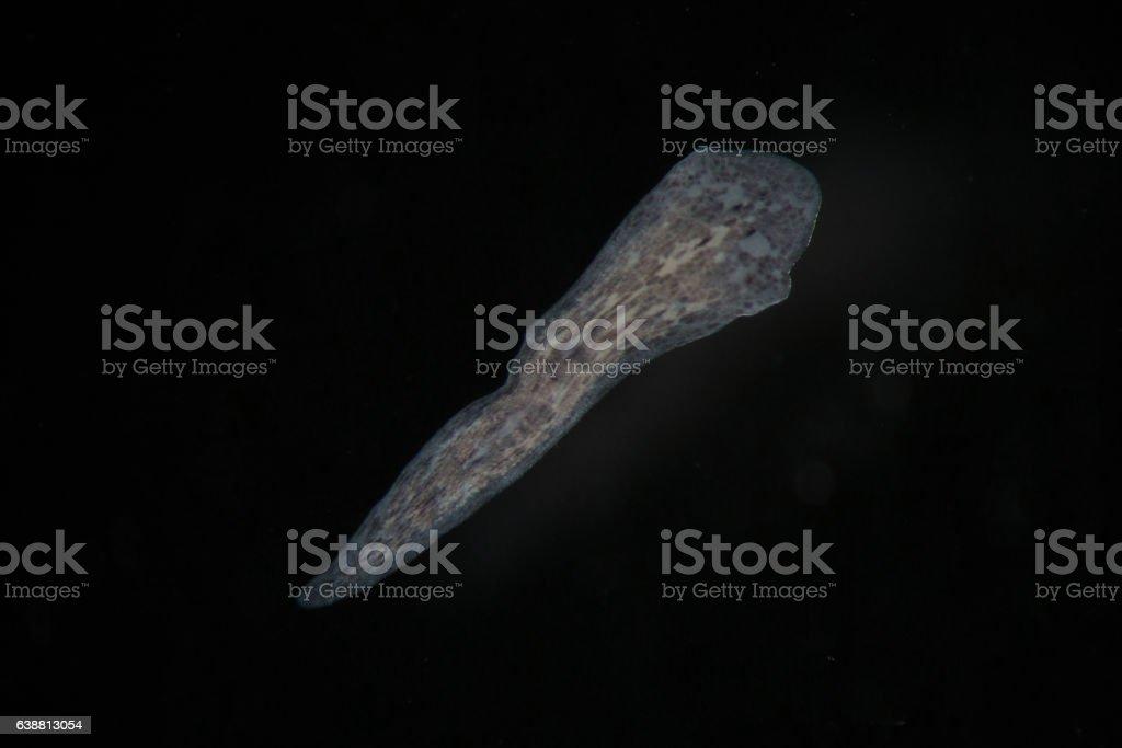 Freshwater Turbellaria Flatworms Planaria by microscope stock photo