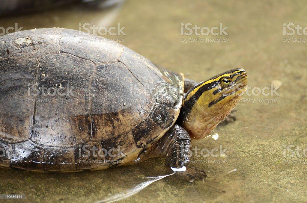 Freshwater turtles stock photo