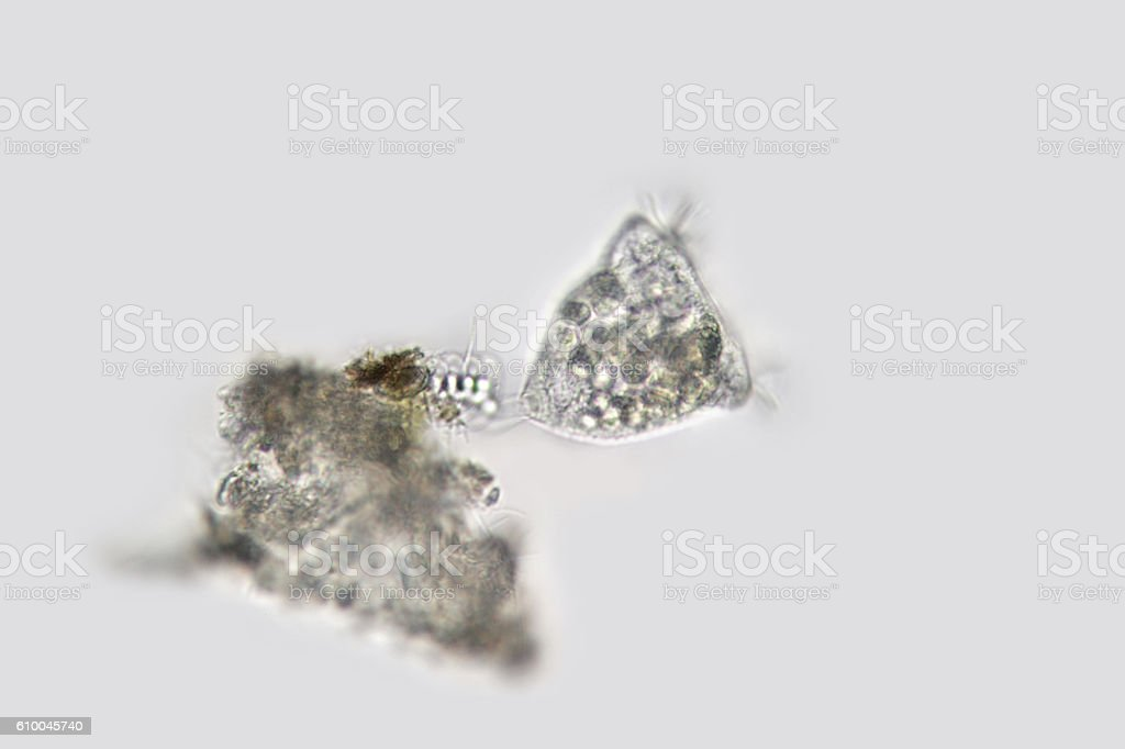 Freshwater Vorticella campanula. Bell-shaped microorganism from freshwater stock photo