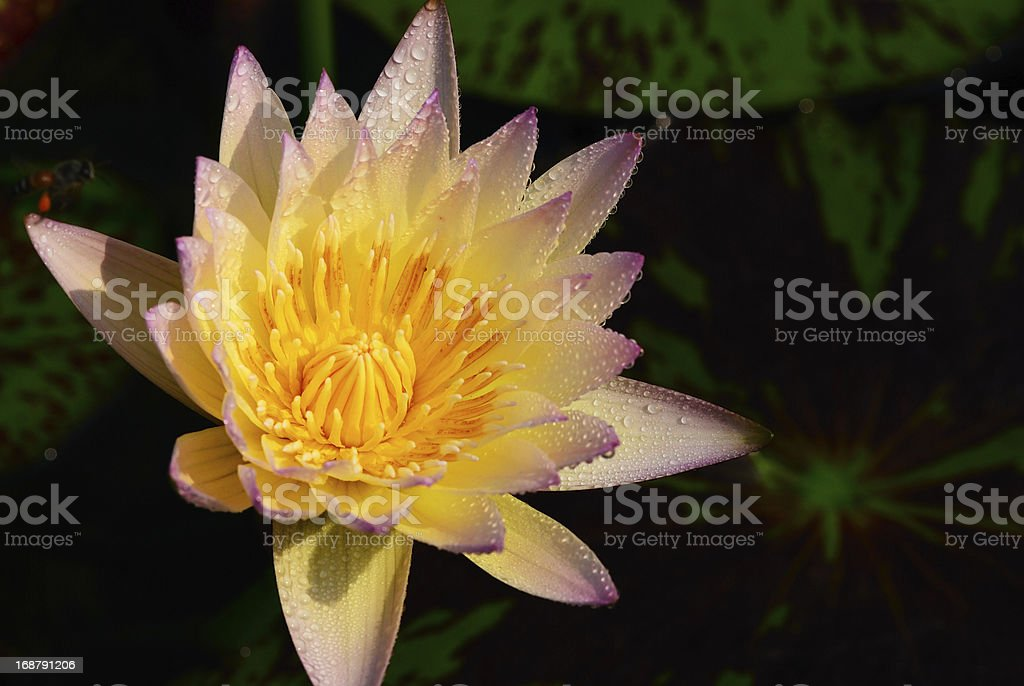 Freshy water lily royalty-free stock photo
