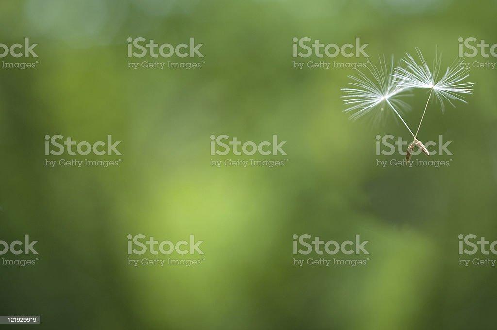 Fr?hlingsflug von zwei L?wenzahnsamen stock photo