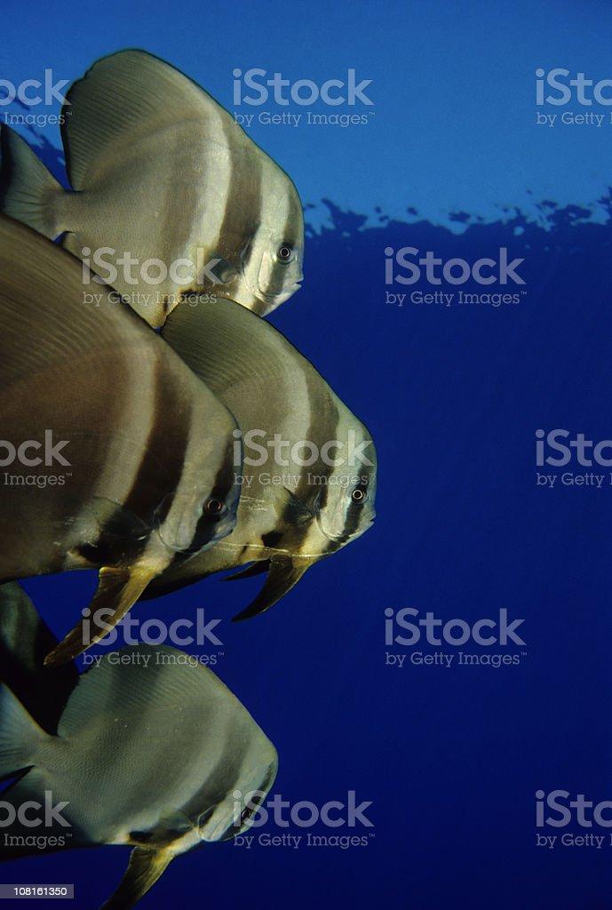 Friendly Batfish In Blue Water stock photo