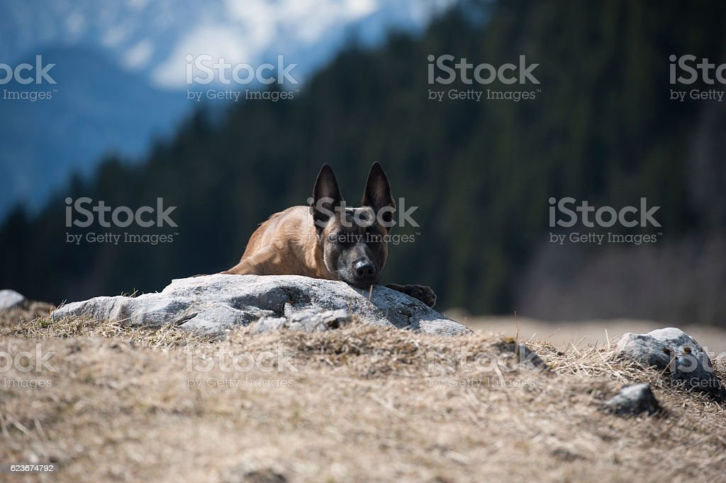 Friendly Belgian shepherd stock photo