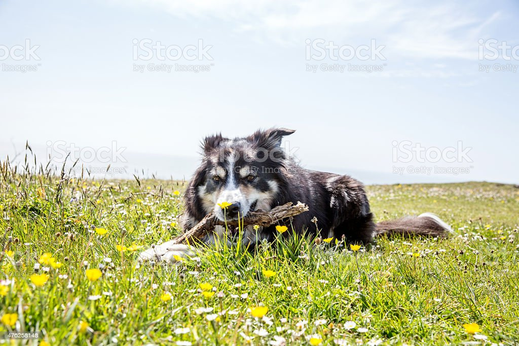 Friendly border collie on grass gnawing stick stock photo