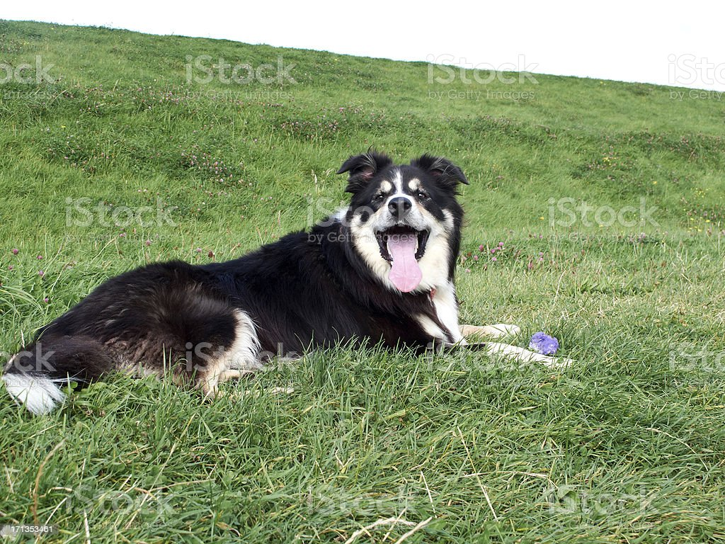 Friendly border collie on grass royalty-free stock photo