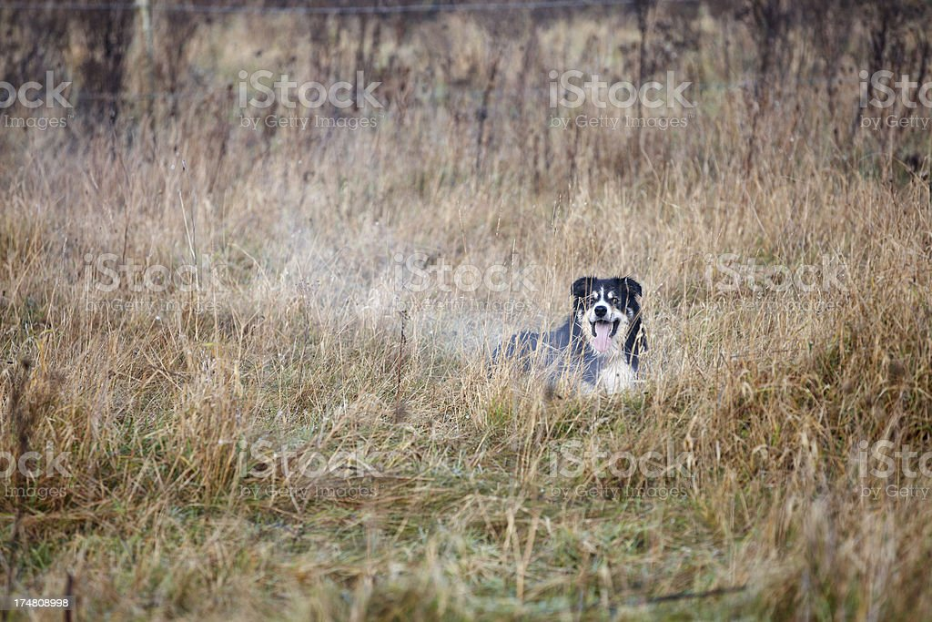 Friendly border collie on grass winter day royalty-free stock photo