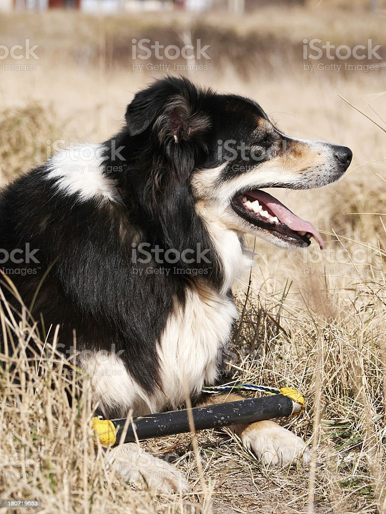 Friendly border collie on grass with stick royalty-free stock photo
